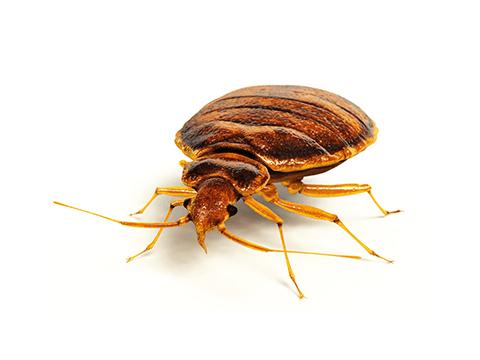 Pest Library - Bedbug