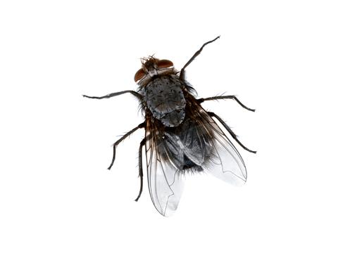 Pest Library - flies