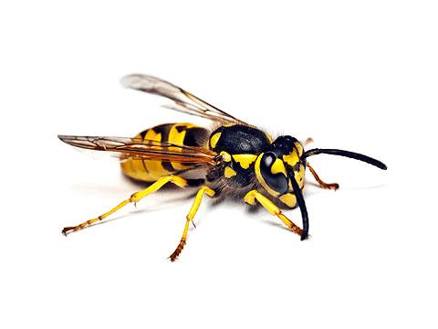 Pest Library - hornet